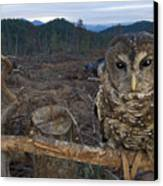 A Threatened Northern Spotted Owl Canvas Print