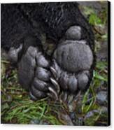 A Tranquilized Brown Bear Canvas Print by Melissa Farlow