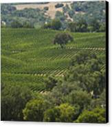 A Vineyard In The Anderson Valley Canvas Print by Richard Nowitz