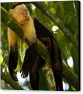 A White-throated Capuchin Monkey Canvas Print