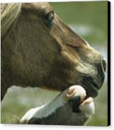 A Wild Pony Foal Nuzzling Its Mother Canvas Print by James L. Stanfield