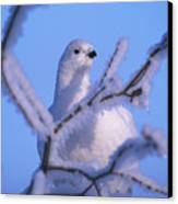 A Willow Ptarmigan Canvas Print by Nick Norman