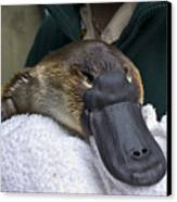 A Zookeeper Cradles A Platypus As Part Canvas Print by Jason Edwards