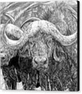 African Cape Buffalo Canvas Print