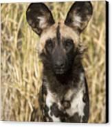 African Wild Dog Okavango Delta Botswana Canvas Print