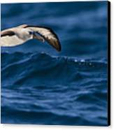 Albatross Of The Deep Blue Canvas Print by Basie Van Zyl