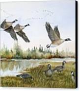Aleutian Geese At Lake Earl Canvas Print