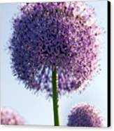 Allium Flower Canvas Print