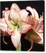 Amaryllis Group Canvas Print
