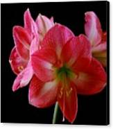 Amaryllis Canvas Print by The Stone Age