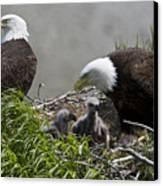 American Bald Eagles, Haliaeetus Canvas Print
