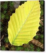 American Beech Leaf Canvas Print