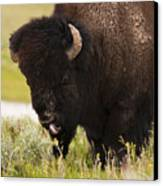 American Bison Tongue Canvas Print