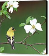 American Goldfinch In Dogwood Canvas Print