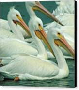 American White Pelicans Canvas Print