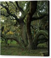 An Old Live Oak Draped With Spanish Canvas Print by Michael Melford