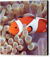 Anemone And Clown-fish Canvas Print by MotHaiBaPhoto Prints