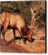 Animal - Elk -  An Elk Eating Canvas Print
