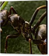 Ant On A Leaf Canvas Print by Ryan Kelly