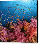 Anthias Fish And Soft Corals, Fiji Canvas Print by Todd Winner