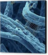 Anthrax Bacteria Sem Canvas Print by Eye Of Science and Photo Researchers