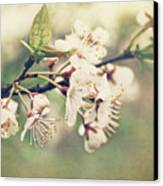 Apple Blossom Branch In Early Spring Canvas Print by Sandra Cunningham