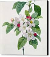 Apple Blossom Canvas Print by Pierre Joseph Redoute