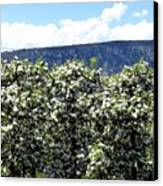 Apple Trees In Bloom     Canvas Print by Will Borden
