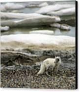 Arctic Fox By Frozen Ocean Canvas Print