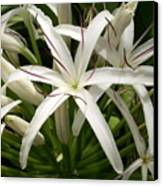 Asiatic Poison Lily Canvas Print