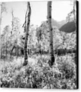 Aspens Black And White Canvas Print