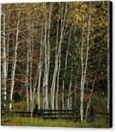 Aspens In The Fall Canvas Print by Timothy Johnson