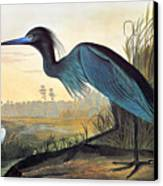 Audubon: Little Blue Heron Canvas Print by Granger