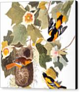 Audubon: Oriole Canvas Print