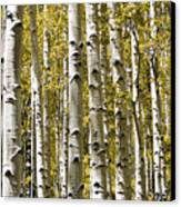Autumn Aspens Canvas Print by Adam Romanowicz