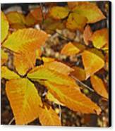 Autumn Beech  Canvas Print by Michael Peychich