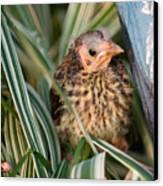 Baby Bird Hiding In Grass Canvas Print by Douglas Barnett
