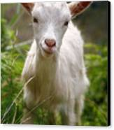 Baby Goat Canvas Print