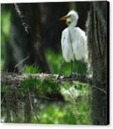 Baby Great Egrets With Nest Canvas Print by Rich Leighton