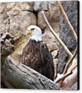 Bald Eagle - Portrait Canvas Print
