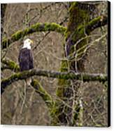 Bald Eagle On Mossy Branch Canvas Print by Sharon Talson