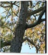 Bald Head Tree Canvas Print