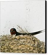 Barn Swallow Nesting Canvas Print by Douglas Barnett