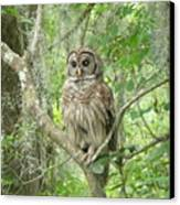 Barred Owl I Canvas Print