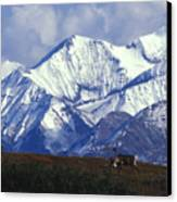 Barren-ground Caribou Rangifer Tarandus Canvas Print by Nick Norman
