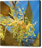 Beautiful Leafy Sea Dragon Canvas Print by Brooke Roby