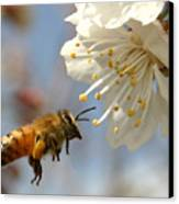 Bee And A Blossom Canvas Print