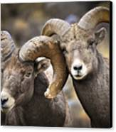 Bighorn Brothers Canvas Print by Kevin Munro
