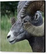 Bighorned Ram Canvas Print