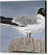 Bimini Gull Canvas Print